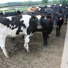 cows dairy agriculture