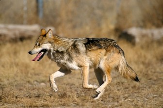 Mexican Gray Wolf via Wikicommons