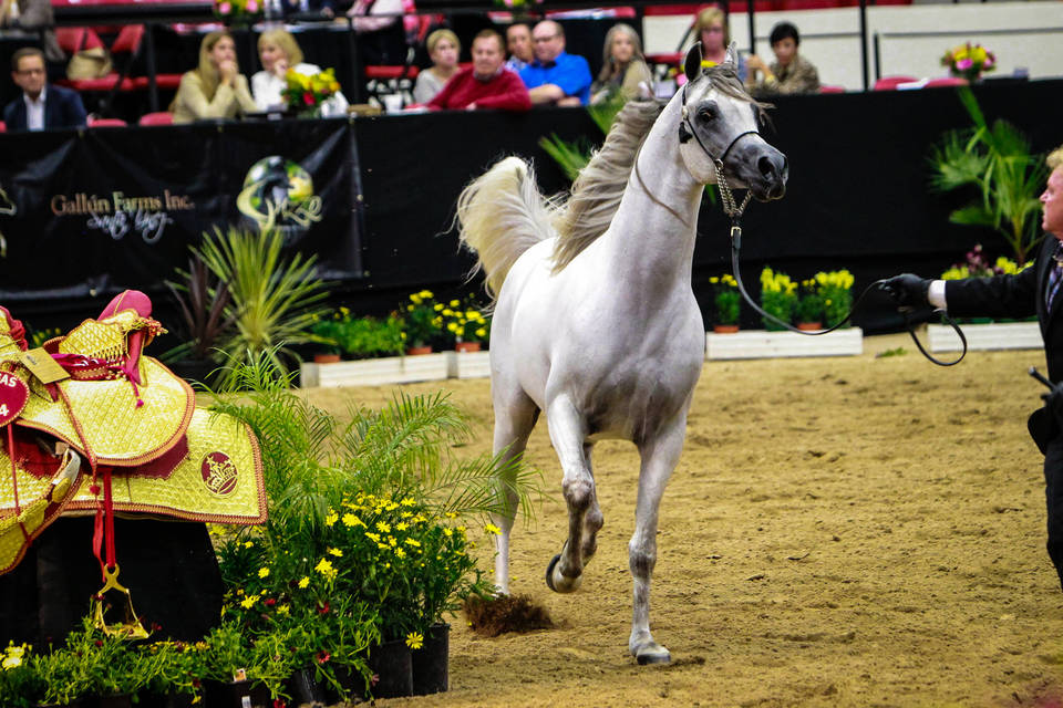 2014 Abwc Gallery The Arabian Breeders World Cup