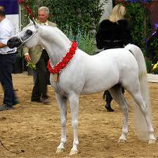 Masquerade Pa The Arabian Breeders World Cup Arabian
