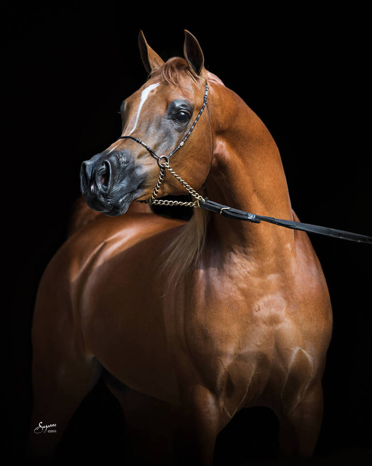 Trussardi The Arabian Breeders World Cup Arabian