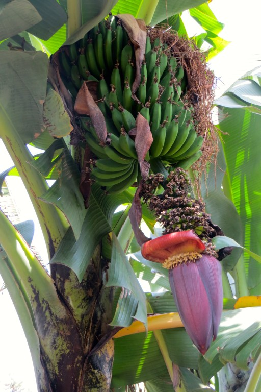 Huge banana bunch