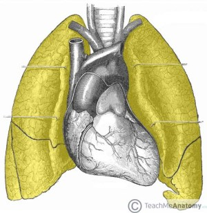 The Lungs  Position  Structure  TeachMeAnatomy
