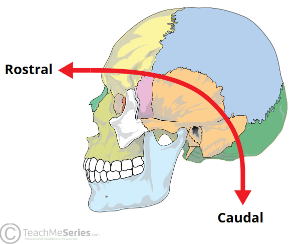 Embryological Terminology - Dorsal - Ventral - Caudal ...