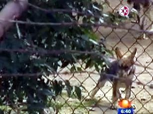 Crías de lobo mexicano nacen en zoológico de Aragón