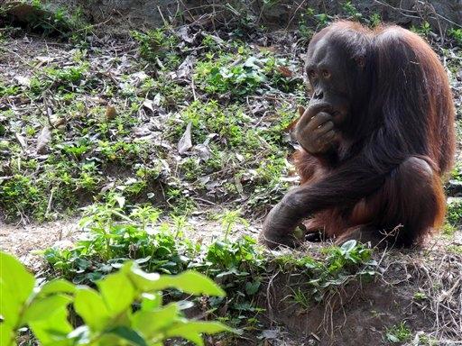 Orangután muerde a trabajadora del zoo de Chapultepec