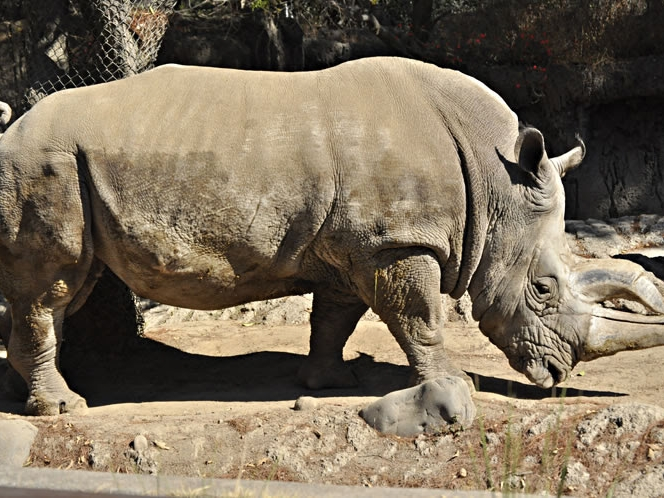 Muere 'Khartoum', el rinoceronte blanco del zoológico de Chapultepec
