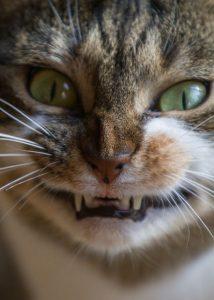 gato furioso, como saber si mi gato me odia