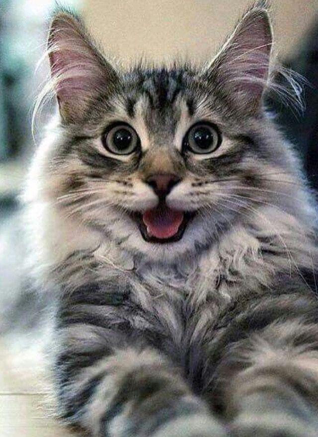 sonríen los gatos - gato sonriendo