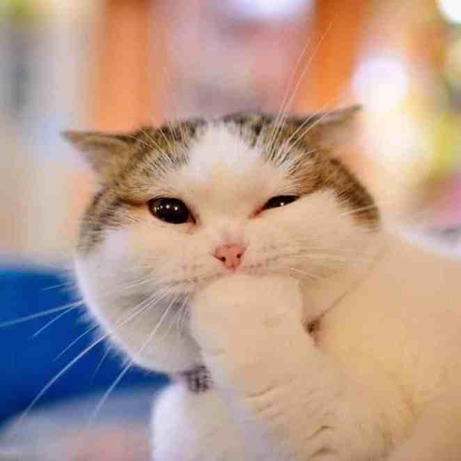 sonríen los gatos - gato tapandose la boca