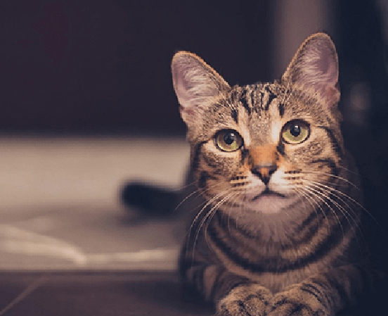 los gatos son seres espirituales - gato atigrado