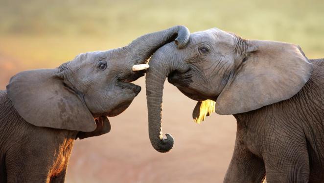 animales fieles para toda la vida - pareja de elefantes