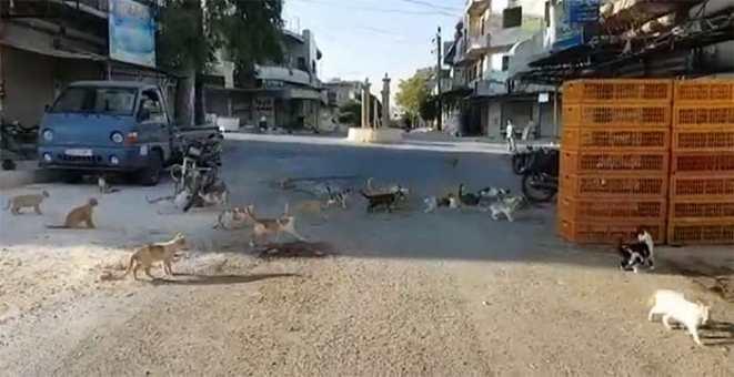 ciudad de kafr nabl ciudad donde hay mas gatos que animales