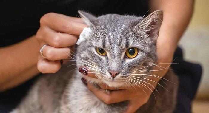 Como limpiar las orejas de un gato