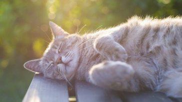 tratamiento cáncer en gatos