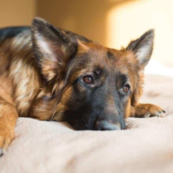 La erliquiosis canina es una enfermedad de los perros y humanos