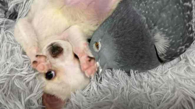 una amistad entre una paloma y un chihuahua