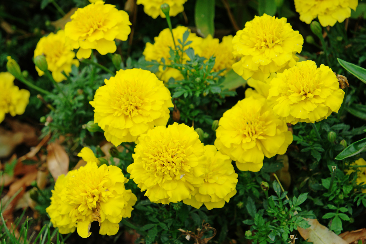Marigold Types And Benefits Of Yellow Flowers Girls Glamour