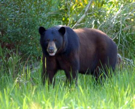 The proposed ordinance is expected to reduce human-bear interaction in Seminole County. Photo: Wikimedia Commons.