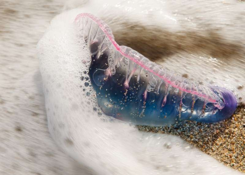 Portuguese man-of-war and sea dragons have been found on Brevard County beaches.