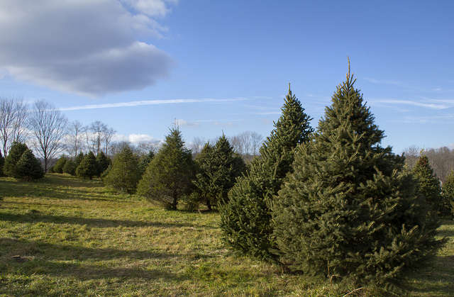 National Christmas Tree Association's Director Tim O'Connor says there's a number of factors driving up Christmas tree prices in the state this year. Photo: Flickr Creative Commons
