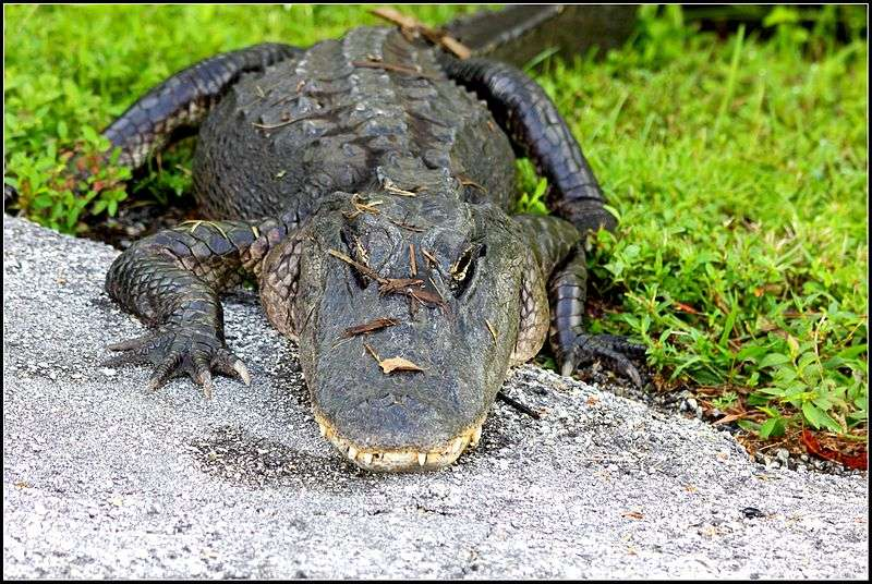 File photo of Florida alligator from Wikimedia Commons