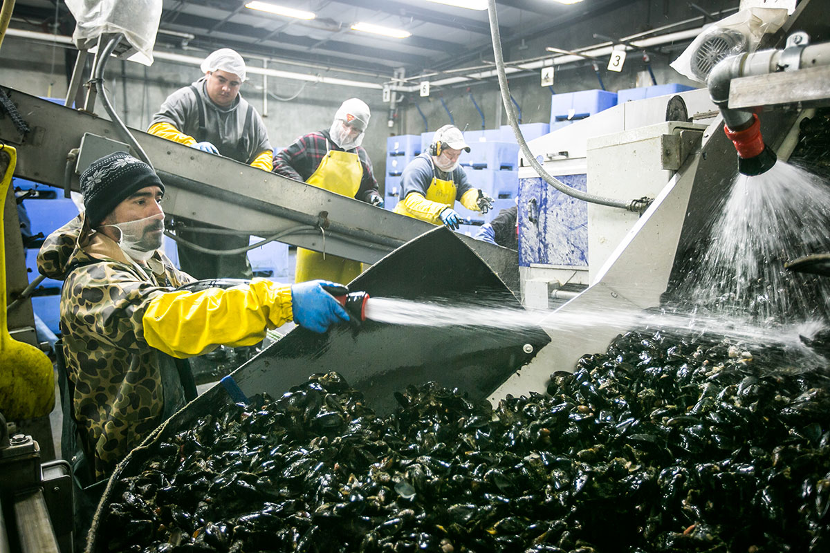 Workers process mussels at Talylor Shellfish's facility in Shelton, Washington. No one knows exactly how marine life around the world will fare as the seas continue to sour, but fear is spreading.
