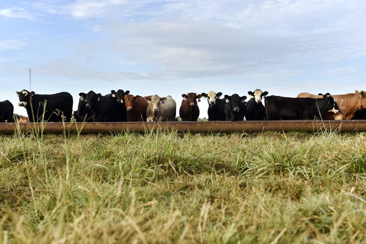 Cattle line up to feed on Earl Shero's ranch in Wilburton.