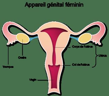 """Résultat de recherche d'images pour """"schéma uterus simple"""""""