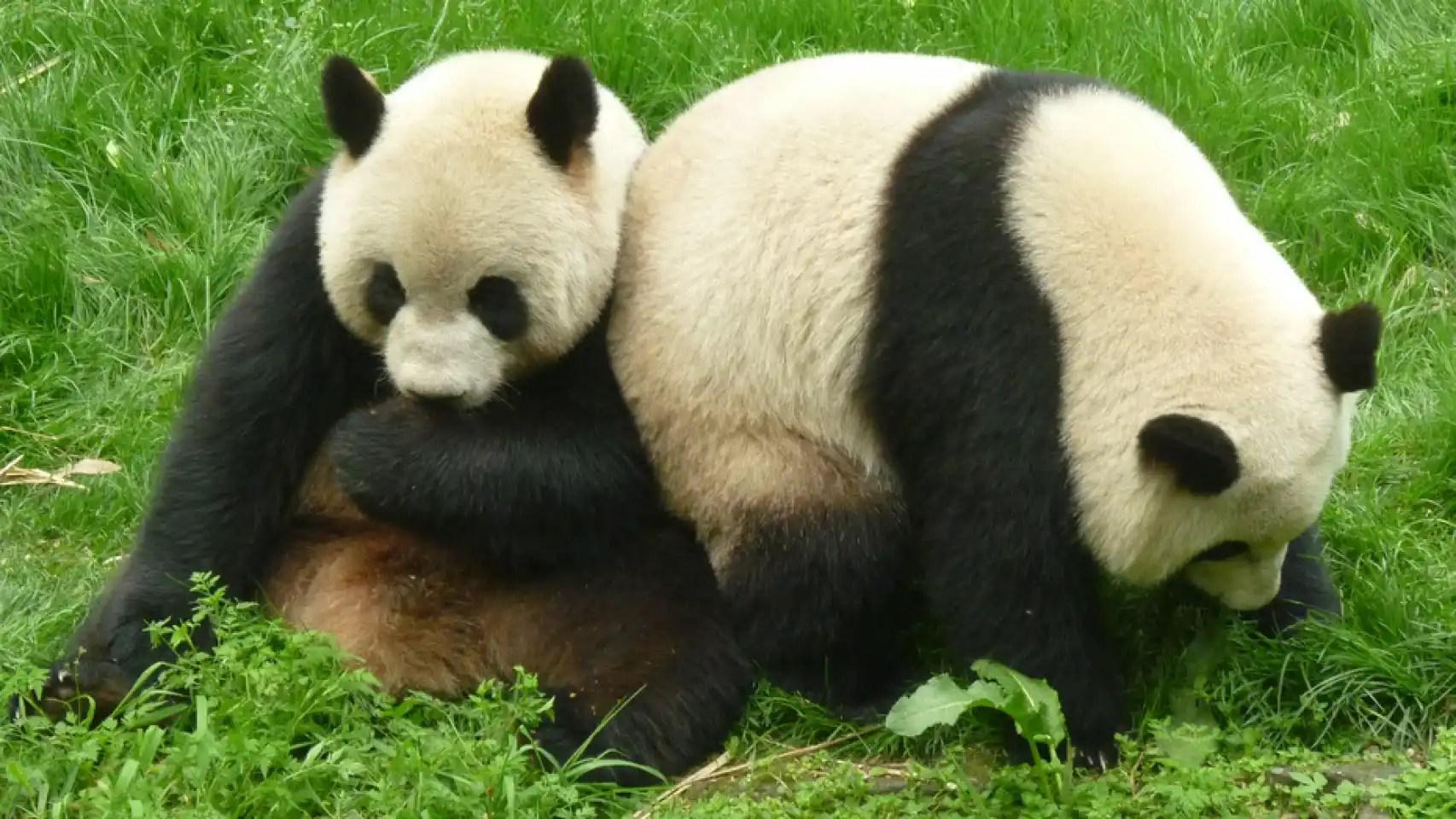 Los osos panda siguen siendo vulnerables en estado salvaje.