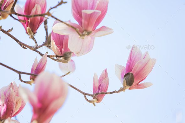 Magnolia flowers Stock Photo by mblach   PhotoDune