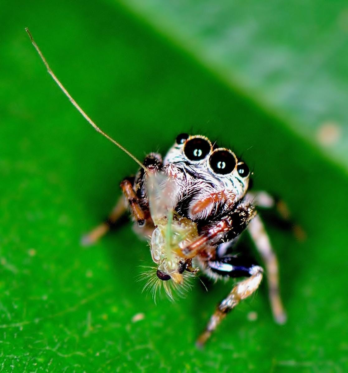 begging spider