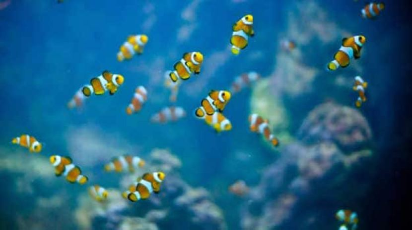Image result for clown fish in lakshadweep