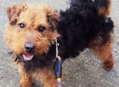 Curley is one of the five dogs stolen from the GSPCA animal sanctuary at Heathlawn.