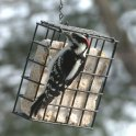 Woodpecker On Suet