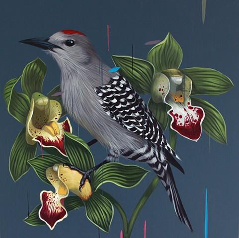Gila Woodpecker and Cymbidium