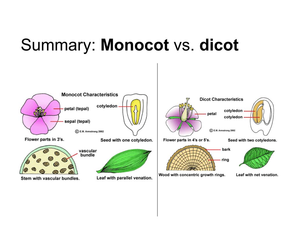 Summary Monocot Vs Dicot