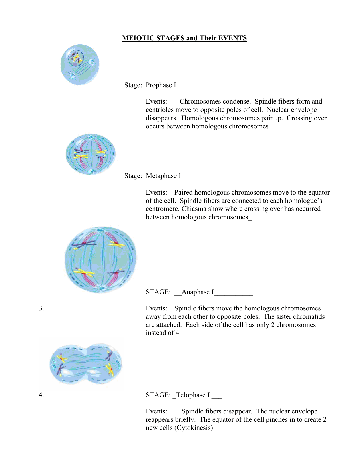 Meiotic Stages And Their Events Key