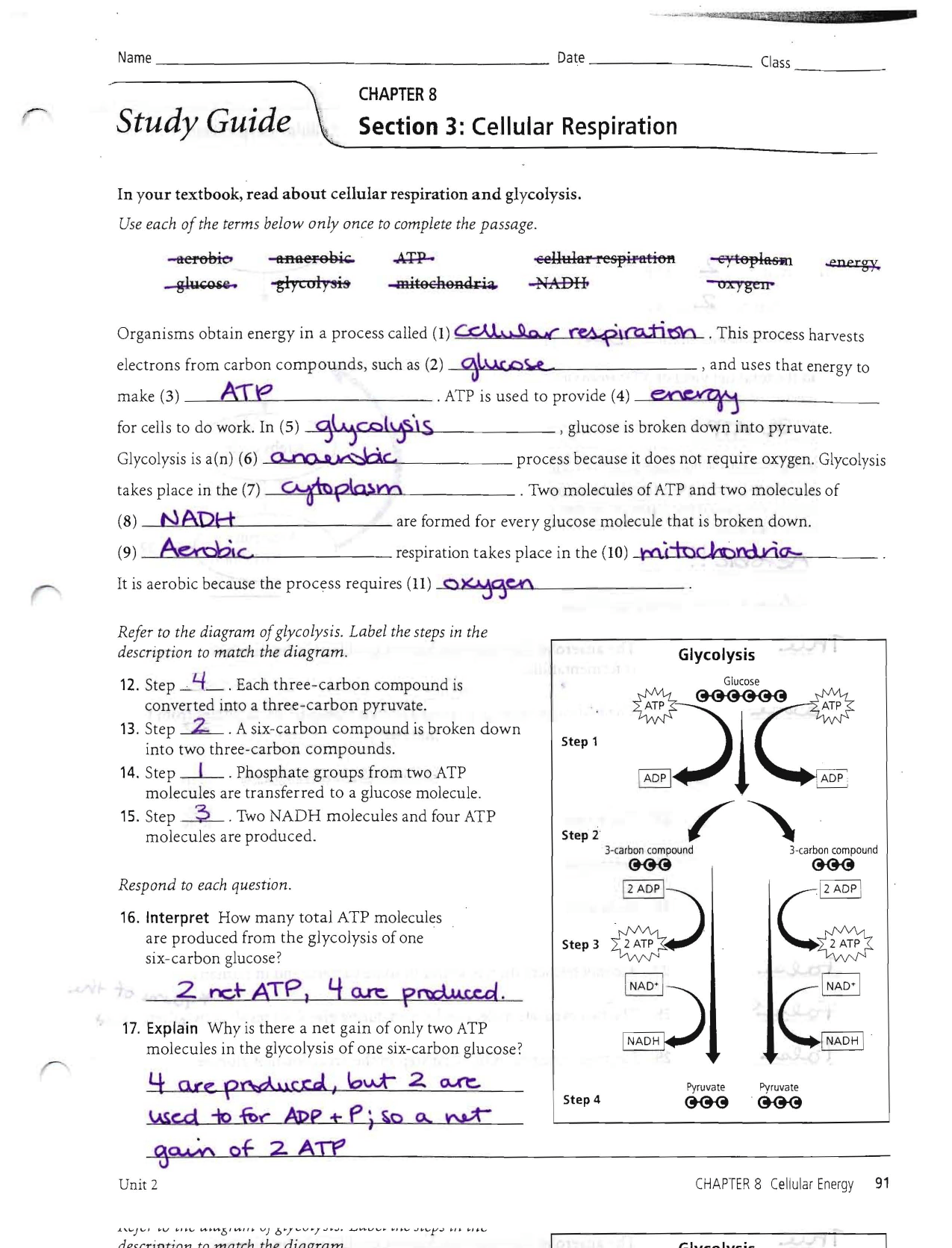Worksheet Glycolysis Worksheet Worksheet Fun Worksheet