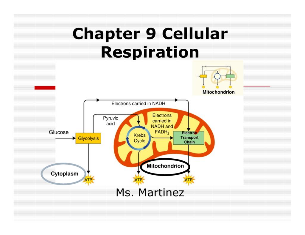 Chapter 9 Cellular Respiration