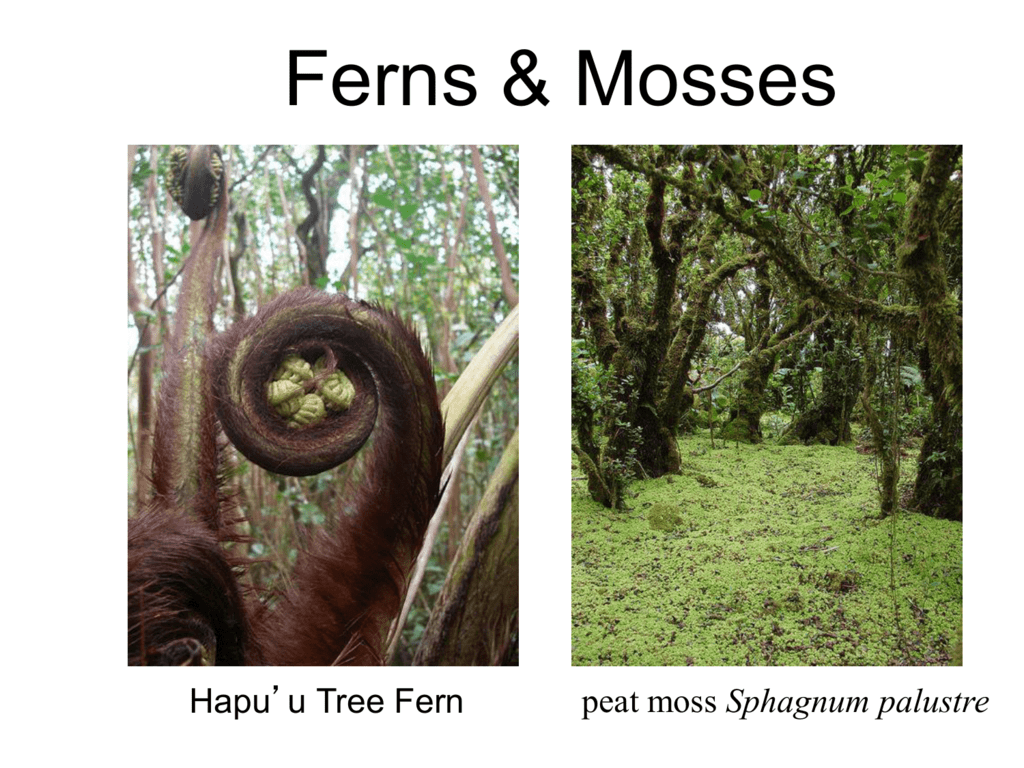 Moss And Ferns Lifecycle And Characteristics Ppt