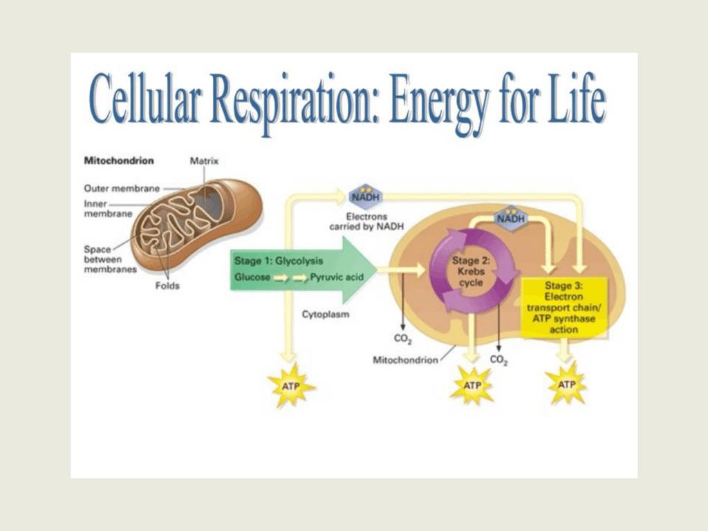 Ch 7 Cellular Respiration