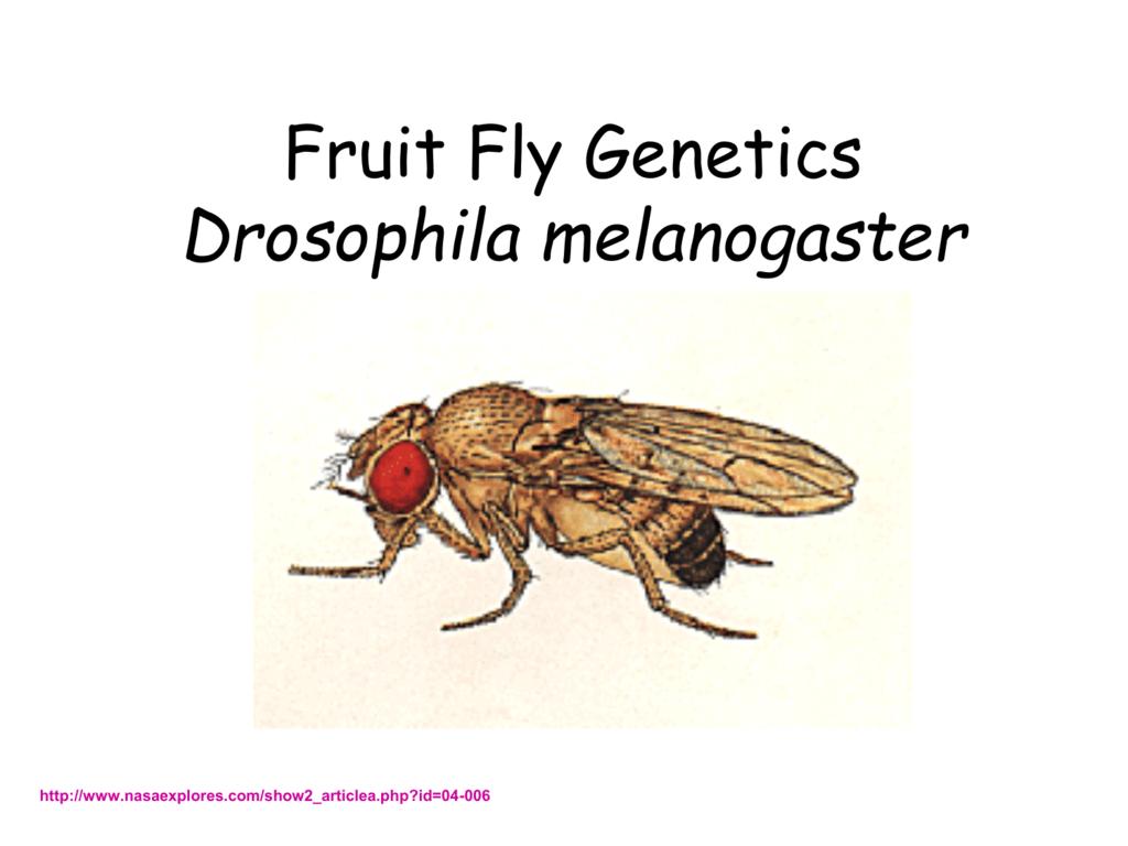 Fruit Fly Genetics