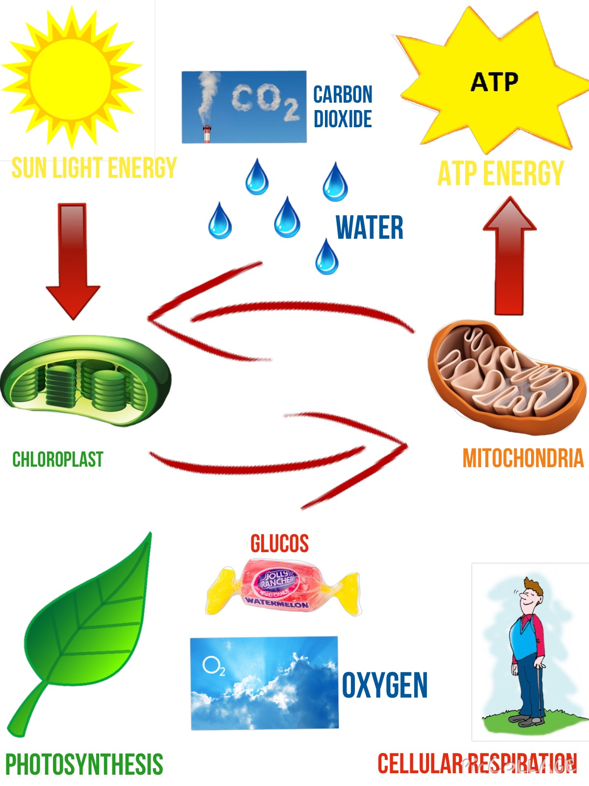 Respiration And Photosynthesis Cycle