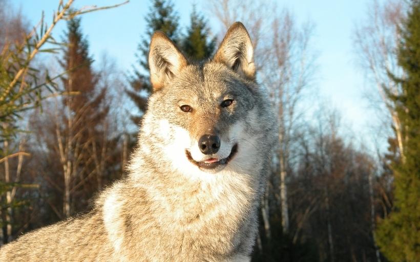 30 лет без человека: торжество дикой природы в зоне отчуждения Чернобыльской АЭС