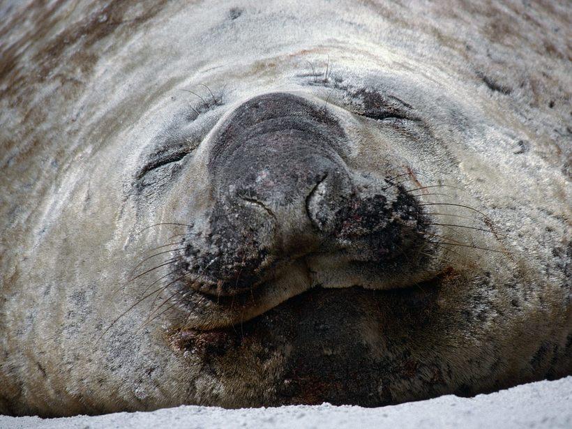 Южный морской слон: он может не дышать 2 часа и при этом глубоко нырять