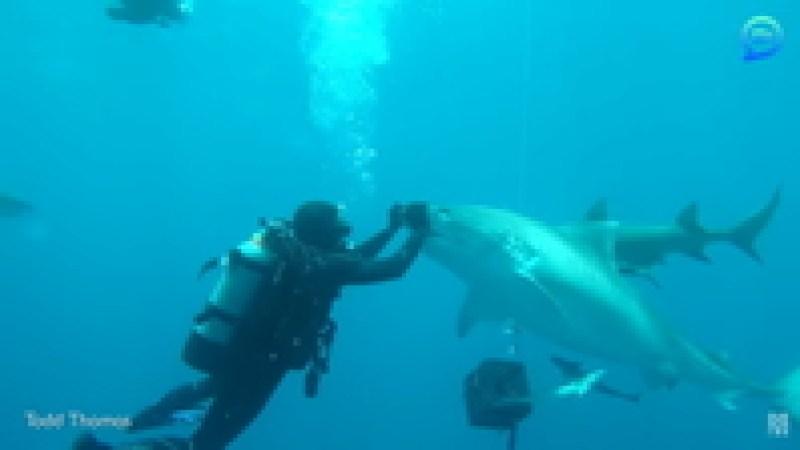 Видео: Дайвер плавает среди акул и даже гладит их по морде, не лишаясь при этом руки