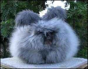 Raising Angora Rabbits