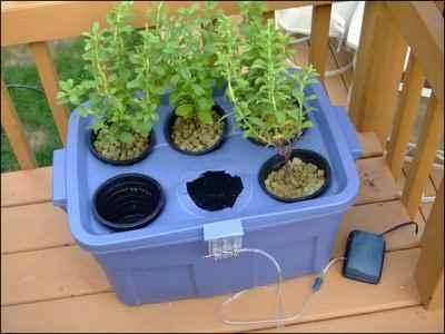 Stevia growing hydroponically in a storage tub.