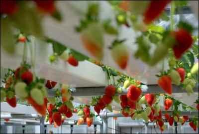 strawberry Gardening with Hydroponics